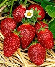Korona strawberry #large #dark_red #juicy #sweet