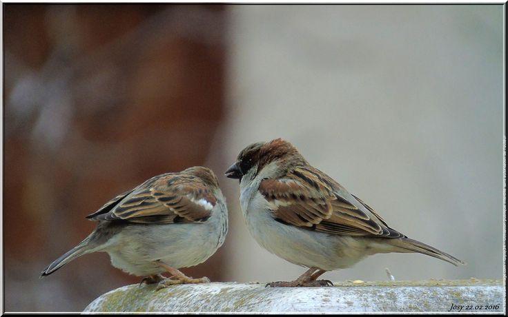 Oiseau - moineau domestique