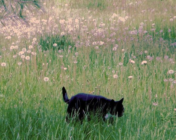 Spike in the Dandelion Field  8 X 10 Matted by KonvaliiaDesigns, $25.00: Cat Fine, Prints Cat