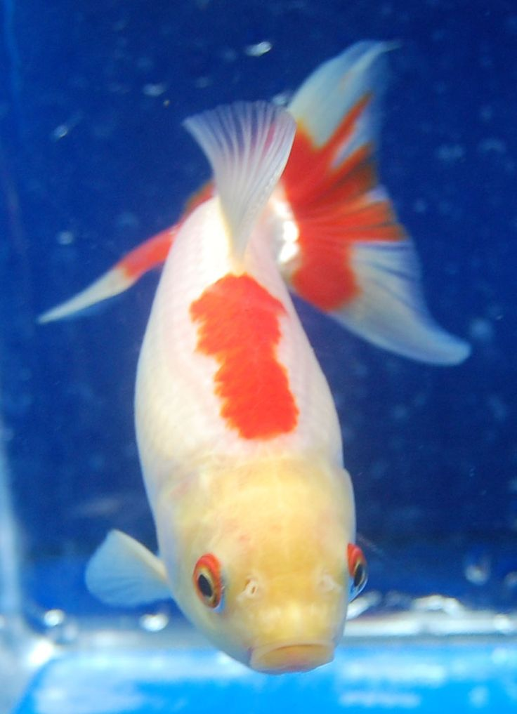 1097 best images about koi goldfish bettas on for Koi und goldfisch
