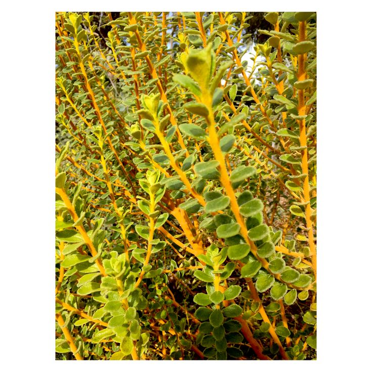 Physopsis chrysophylla