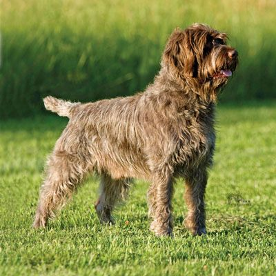 Wirehaired Pointing Griffon - Developed after World War II this breed was crossed with the German Wire-Haired Pointer and Weimeraners and welcomed in Czechoslovakia.