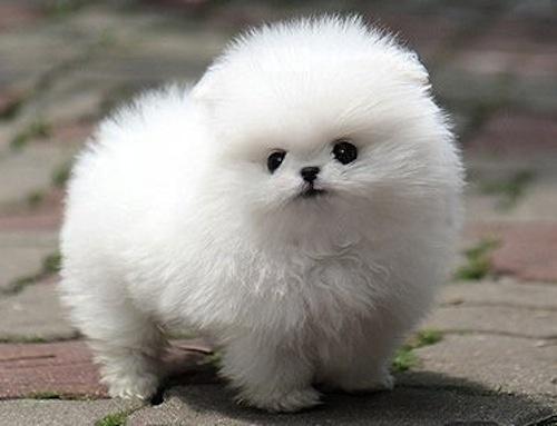 A Fluffy White Pomeranian Puppy | Prancing Pomeranians ...