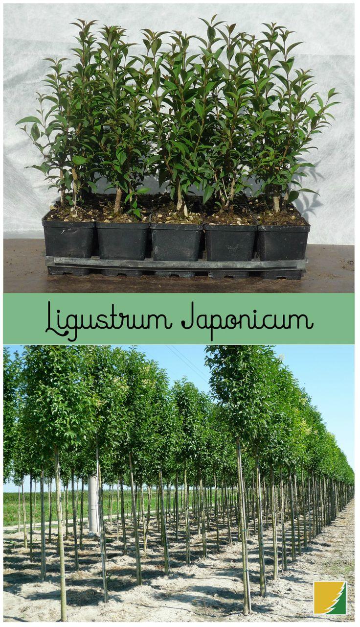 17 beste ideer om Liguster Pflanzen on Pinterest