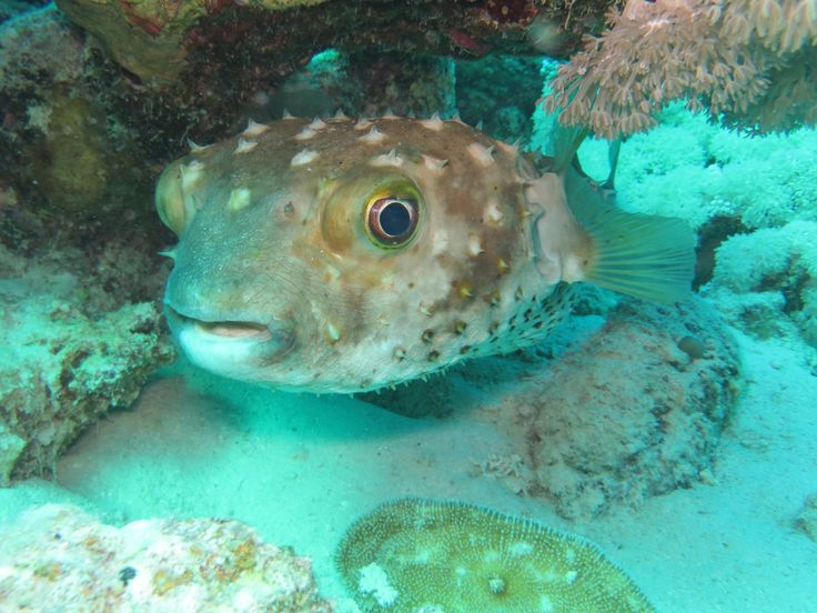 Yellow Spotted Porcupinefish