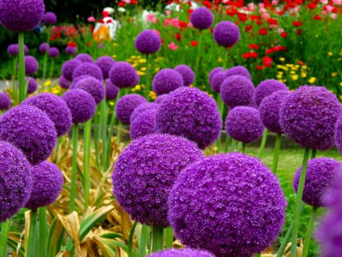 Allium. Allium giganteum, originally from the Himalayas, is hardy in Zones 4 through 9, so you need not consider it an annual.