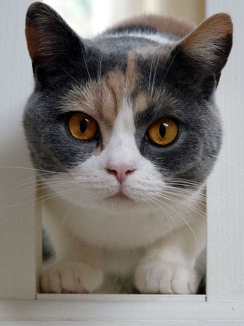 105 curated Calico Cat ideas by 1mamajay   Calico cats ...   480 x 640 jpeg 53kB