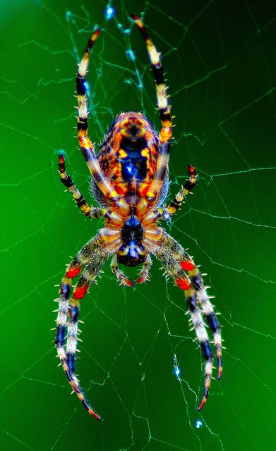 "Colorful spider.  My father always told me that spiders were good luck!  I'm not sure whether that's true or not, but I'm NOT afraid of them, they are amazing ""architects"", interesting, and some are really beautiful.....like this one!"