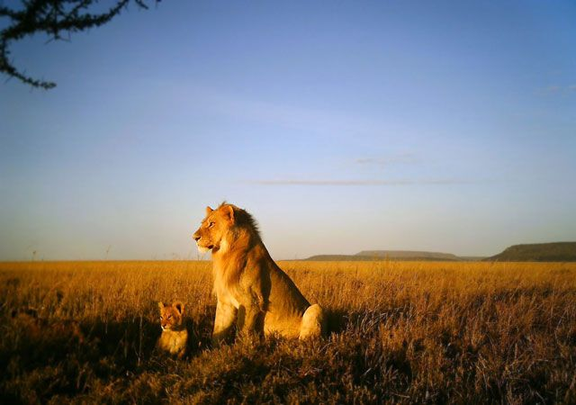 The secret life of lions as captured by the Snapshot Serengeti project...