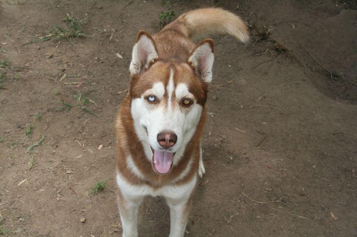 521 _ Kale 1,5 Year old brown male husky with 1 blue eye & 1 brown eye.