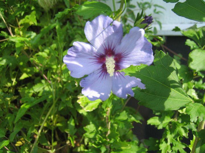 hibiscus Syrcuse