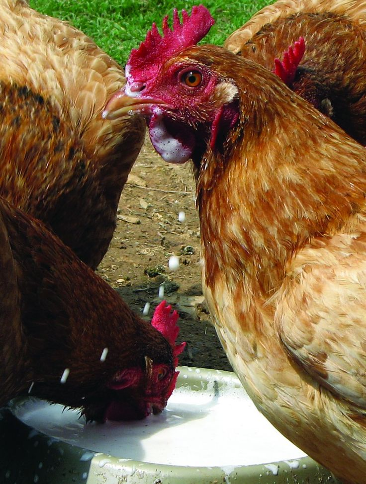 are chickens lactose intolerant backyard poultry magazine