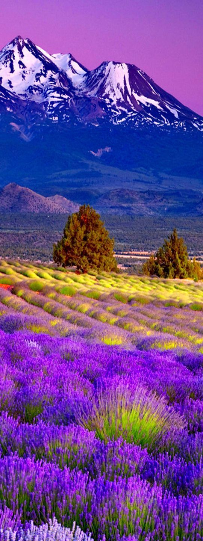 Lavender Fields in Mont Ventoux - Provence   France