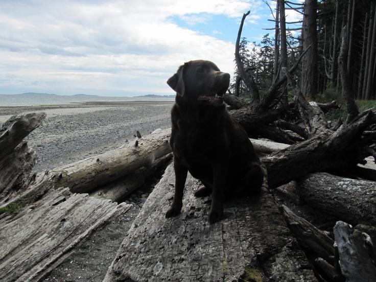 Bentley on vacation, Vancouver Island. Labrador