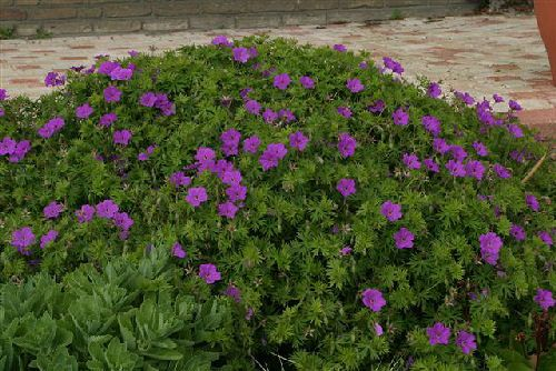 17 best images about ground cover perrenial plants on for Entretien jardin 17