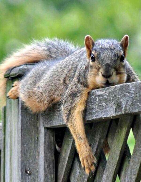 "Squirrel: ""Gathering nuts all day long ~ has plum tuckered me out!"""