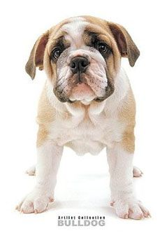 English bulldog puppies for sale with papers | Term paper Writing