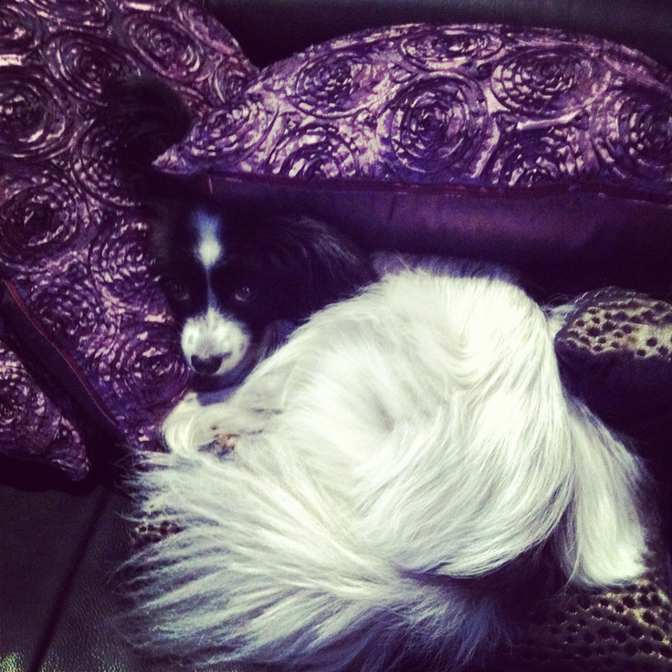 Papillion loves to luxuriate in cushions - half pussycat! #papillion