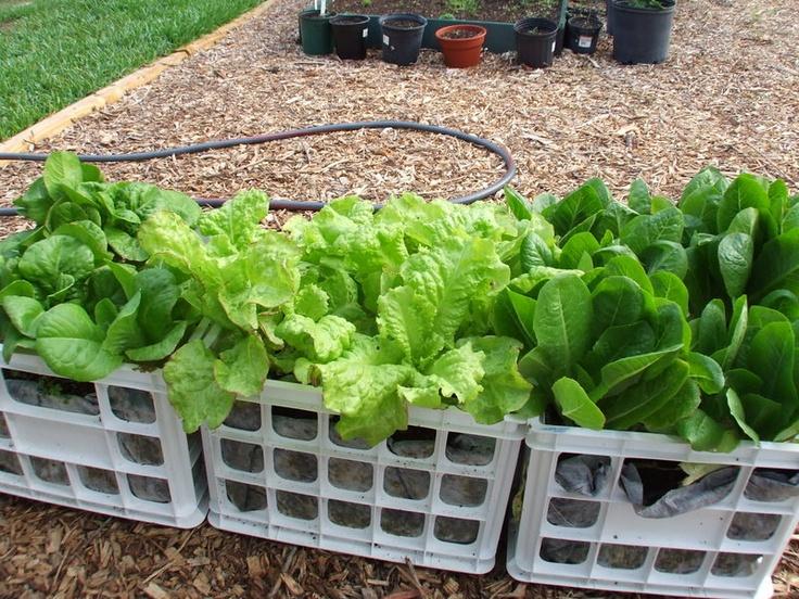 67 best Milk Crate Gardening images on Pinterest Vegetable garden