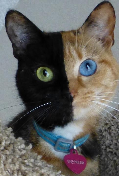 Venus the Chimera cat - freaky, never seen this before ...