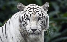 White Tiger Tattoo Designs-White Tiger Tattoo Ideas-White Tiger Tattoo Meanings And Tattoo Pictures