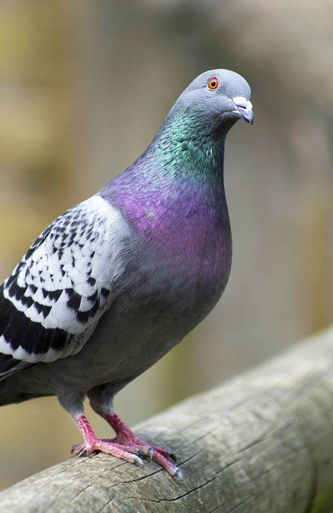 Pigeon - Iridescent colors - A curious pigeon, I know they are pests but I love the color of their neck feathers.