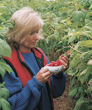 How to Grow Raspberries  Select an everbearing variety, practice a few trellising and pruning tricks, and pick berries from July through fall