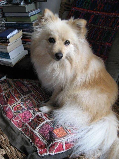 German #Spitz (Deutscher) / Mittelspitz / Kleinspitz #Dogs #Puppy