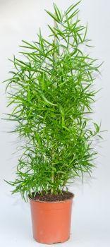 Asparagus falcatus (Zierspargel)
