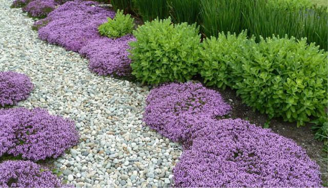 Creeping Thyme; great ground cover for hillside behind house