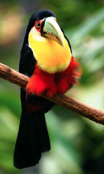 Red Breasted Toucans were brought to the Caribbean as pets and some of them escaped and they occupied a few islands.