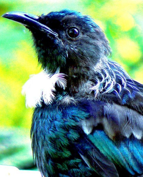 Tui, New Zealand. One of the largest members of the diverse Honeyeater family