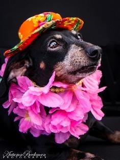 Meet Elaine Elf, a Petfinder adoptable Dachshund Dog | Houston, TX | For more information please check out Elaine's profile and our adoption application at...