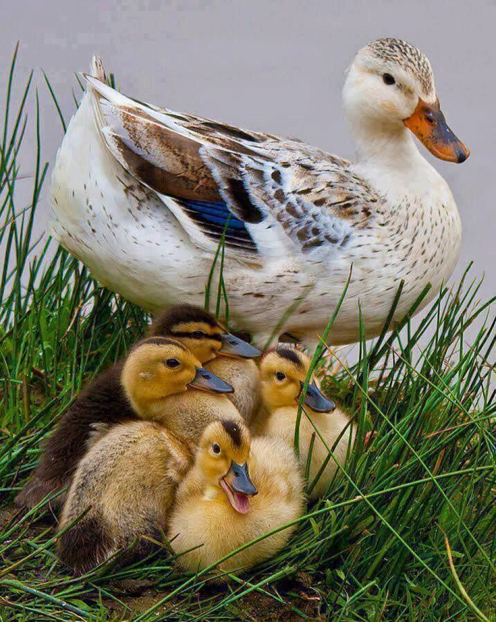 Country Living ~ Ducklings.