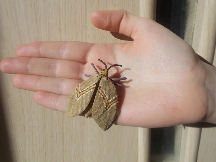 Best 25 Brown Moth Ideas On Pinterest  Butterfly Wings Huge Stunning Small Moths In Bathroom Decorating Inspiration