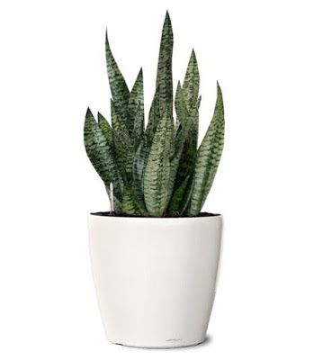 Pollution Control with Snake Plant
