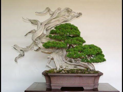 Bonsai  garden  ,tea  ceremony   and   dancing   kimono   2018