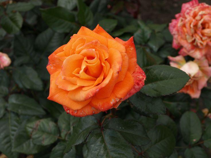 Flora Danica. 0,6-0,8 m. Starkt doftande.