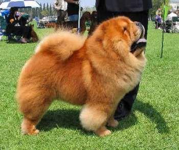 Origen y Características de la Raza Chow Chow http://www.mascotadomestica.com/articulos-sobre-perros/origen-y-caracteristicas-de-la-raza-chow-chow.html