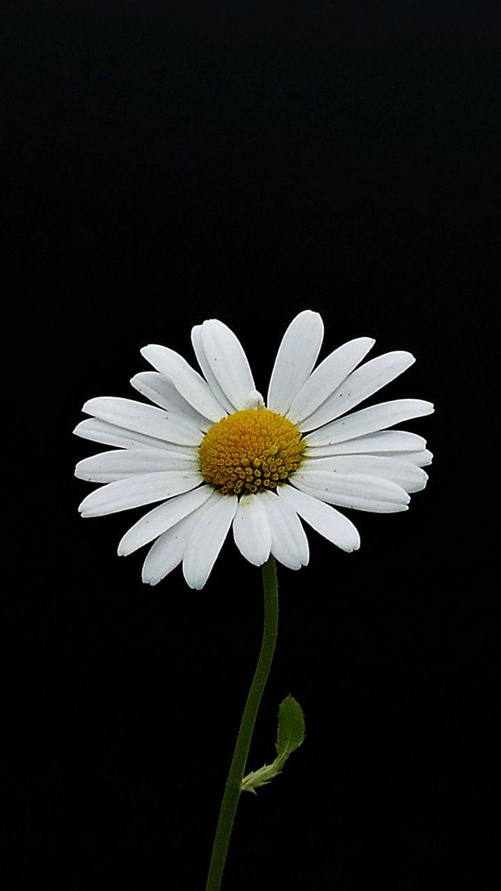 Portrait White Flower Minimal Daisy 720x1280 Wallpaper Daisy Wallpaper Black And White Wallpaper Iphone Sunflower Wallpaper