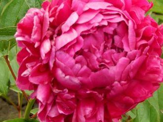 pink Peonies, KARL ROSENFIELD, Peony Farm, WA, peonies for sale