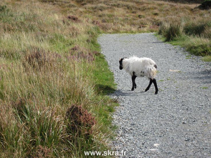 chèvre sauvage noire et blanche au Connemara, Irlande