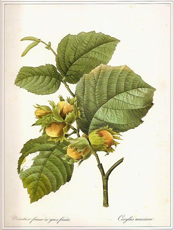 Redoute Vintage 1990 Искусство печати Ботанический оригинальной книге плиты 118 красивый большой Желто-зеленые листья деревьев и орехи приро...