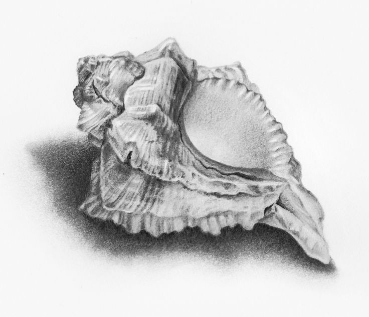 pencil sea shell drawings to pin | Shell drawing.