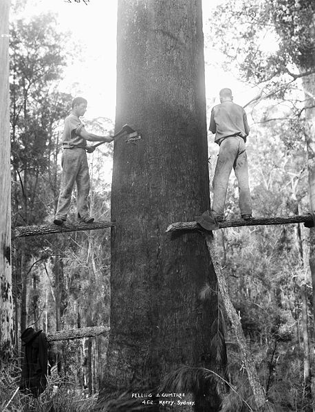 A mountain ash (Eucalyptus regnans) being felled using springboards. Dated to c. 1884-1917, Australia