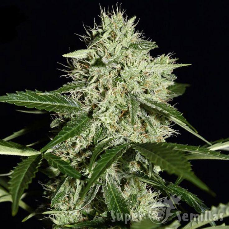 Northern Lights Feminised es la cepa favorita de los que se dedican al cultivo de marihuana en interior. El hibrido te permite obtener aproximadamente 500 gramos por metro cuadrado. Los arbustos alcanzan una altura de no mas de 130 centimetros. La cultura es ideal para el cultivo discreto, ya que las flores desprenden el aroma sutil que casi no se siente. El efecto de esta variedad permite relajarse y abandonar todos los problemas existentes. El contenido de THC en la resina llega 16%.