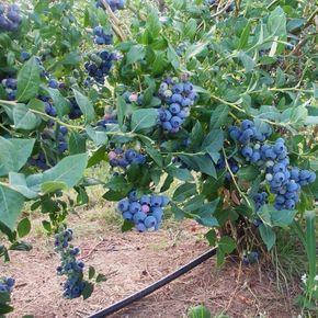 Садовая голубика: фото и сорта, посадка и уход, удобрения