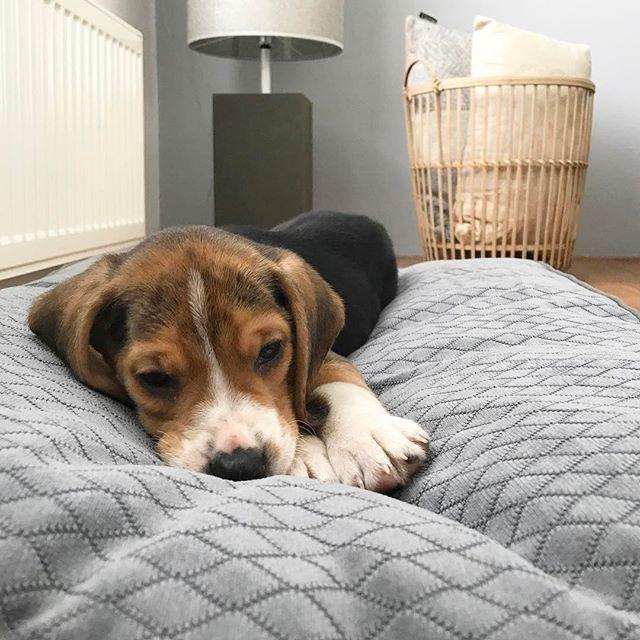 Meet Roan! Vanmiddag hebben wij ons nieuwe vriendje opgehaald 😍 #beagle #ikbenverliefd