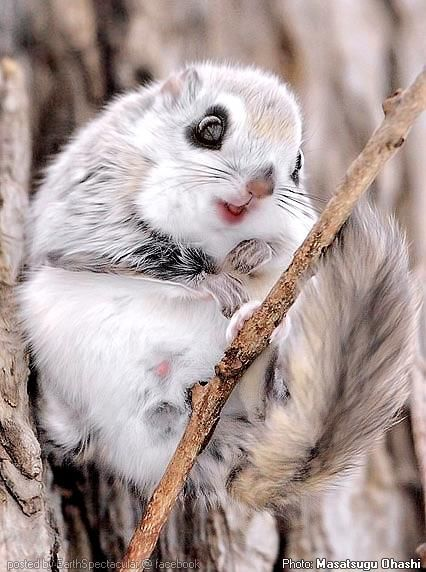 "** ""Momonga"" The Japanese dwarf flying squirrel, photographed on the Japanese island of Hokkaido. (Pteromys momonga; Hepburn; Nihon momonga) is a pygmy flying squirrel, beautiful large eyes and a flattened tail. It inhabits sub-alpine forests in Japan and is nocturnal, This cutie can leap from tree to tree using a gliding membrane."