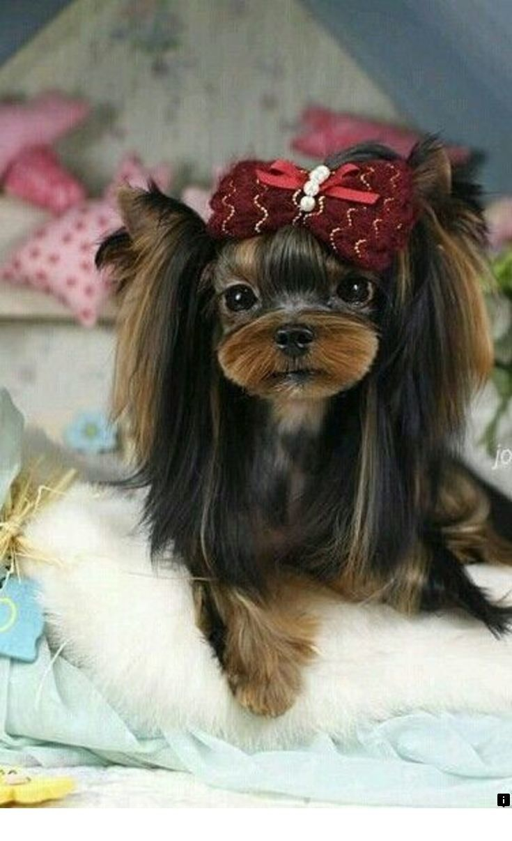 Discover More About Yorkshire Terrier Puppies Just Click On The Link For More Info Our Web Images Yorkshire Terrier Puppies Yorkshire Terrier Terrier